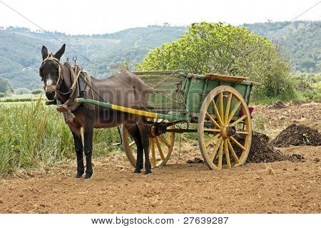 donkey standing in the fields with his load in Portugal