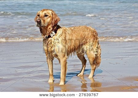 Wet golden retriever coming out of the water from the ocean poster