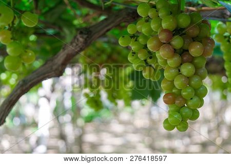 Grapes Tree. Stock Photo Image Of Bunch Fresh Green Grape Fruit On The Vine With Green Leaf In Viney