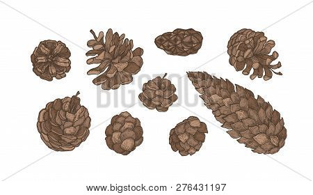 Collection Of Cones Of Evergreen Coniferous Trees - Pine, Spruce, Larch. Set Of Elegant Botanical Dr