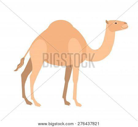 Funny Cute Dromedary Camel Isolated On White Background. Wild Smart Asian Herbivorous Ungulate Mamma