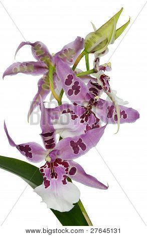 Cambria Orchid