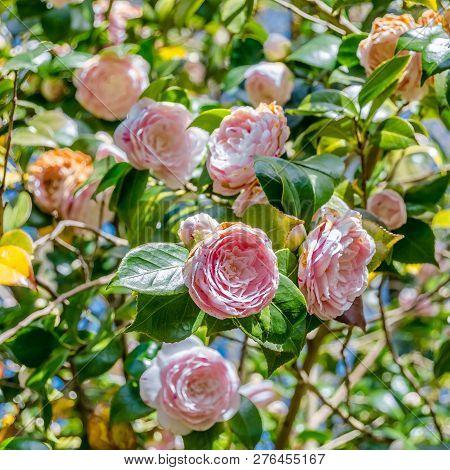 Camelia Flower Blossom