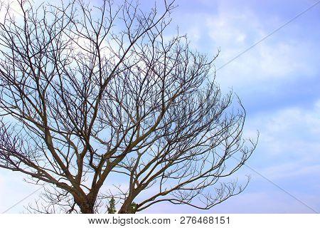 Tree When Summer Come In Bantul, Diy, Indonesia
