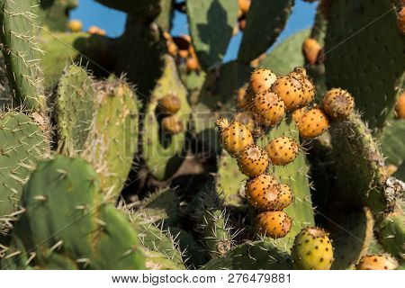 Detail Of Many Yellow Prickly Pears In A Prickly Pear Cactus
