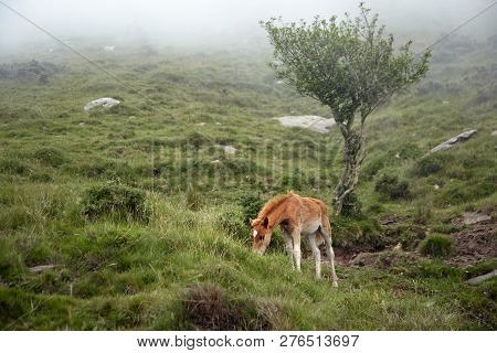 Red Foal Grazing On A Hillside In The Fog. Young Horse Eating Green Fresh Grass In A Mountain Pastur