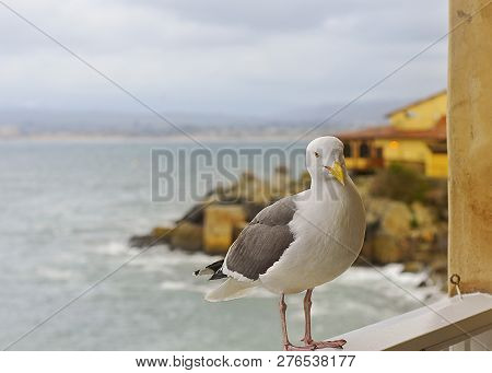 Seagull Looking At Camera On A Wooden Ledge, With View Of Monterey Bay, California