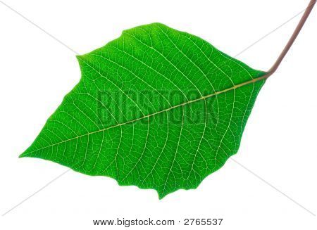 Detailed Veins Green Leaf - Isolated