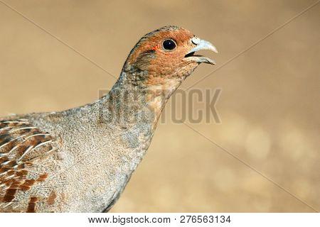Grey Partridge Partridge In A Beautiful Light. Close Up