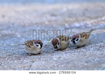 A flock of sparrows (Passer mounatus, Aves, Passseriformes) are looking for food on the ground in a chilly morning poster