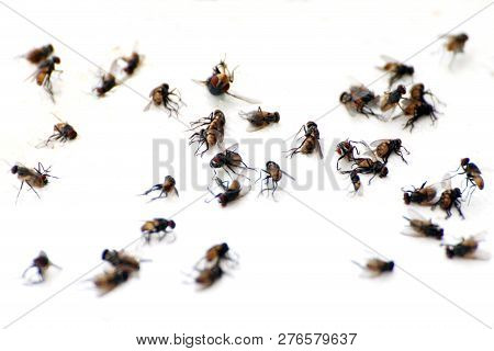 Fly, Pile Fly, Many The Bulk Of The Flies Fly Dead On White Ground, Flies Are Carriers Of Typhoid Tu