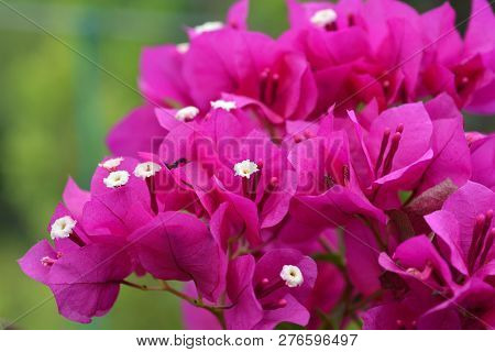 Purple bougainvillea Alexandra - Latin name - Bougainvillea spectabilis Alexandra poster