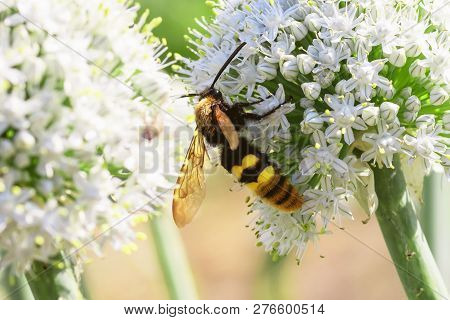 Blue-winged Wasp, Scolia Dubia, Spring Day, Macro