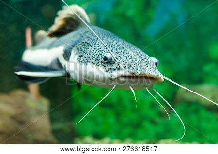 Red-tailed Catfish In The Aquarium. Gorizontal Photo