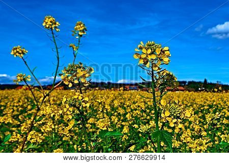 Yellow Feild Of Flowering Rapeseed Canola Colza Brassica Napus, Plant For Green Rapeseed Energy, Rap