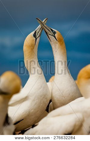 Gannet Couple In Love In Birs Colony By The Ocean, New Zealand