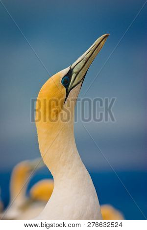 Potrait Of Beautiful Australasian Gannet In Hastings, Nz