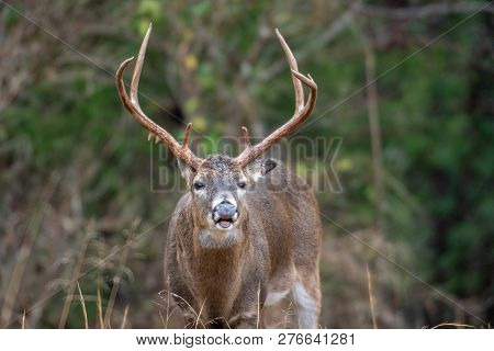 Large White-tailed Deer Buck Lip Curling During The Rut