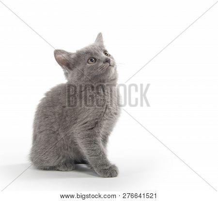 Cute Gray Kitten On White
