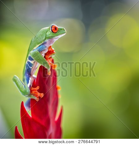red eyed tree frog climbing in tropical rain forest of central America. This tree frog and nocturnal animal lives in the rainforest of Costa Rica and Panama