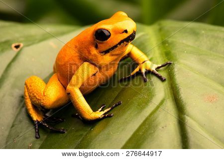 poison dart frog, Phyllobates terribilis orange. Most poisonous animal from the Amazon rain forest in Colombia, a dangerous amphibian with warning colors.