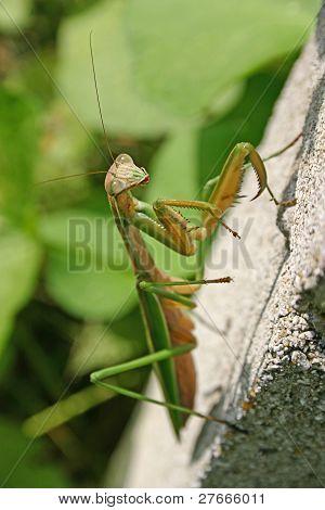 Mantis On A Cinderblock Wall