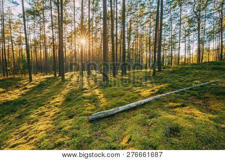 Belarus. Beautiful Sunset Sunrise Sun Sunshine In Sunny Summer Coniferous Forest. Sunlight Sunrays S