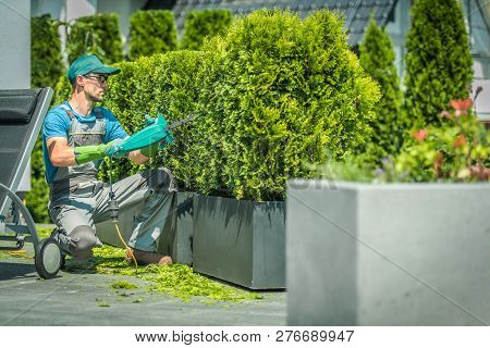 Thuja Shrub Trimming By Professional Gardener. Landscaping Theme.