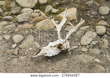 Image Shows A Skull From A Caribou