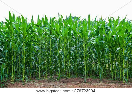 Corn Field Growing Up Green Corn Field Farming Plant Crop Corn Tree In Area Agriculture Field