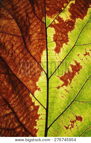 Rich half green half brown leaf texture see through symmetry vein structure, natural texture background concept poster