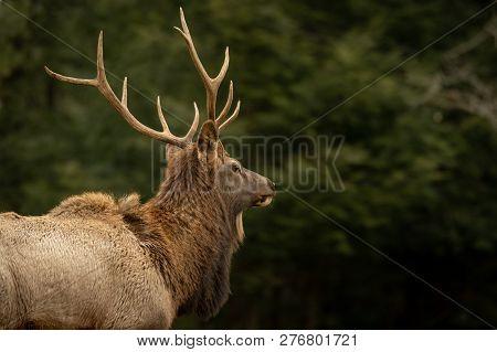 Elk Bull Looking To Future