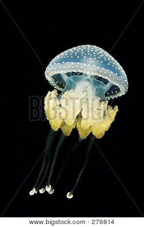 Australian Spotted Jellyfish (pyllorhiza Punctata)