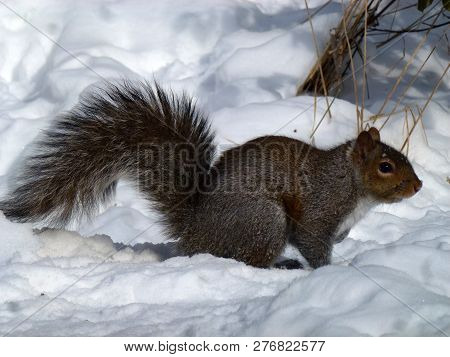 The Grey Squirrel Sitting On The Snow