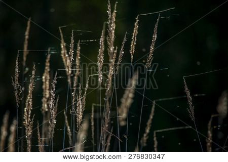 Closeup Of Grass. Grass With Spider Web On The Background Of River. Wild Grass. Nature Grass Near Th