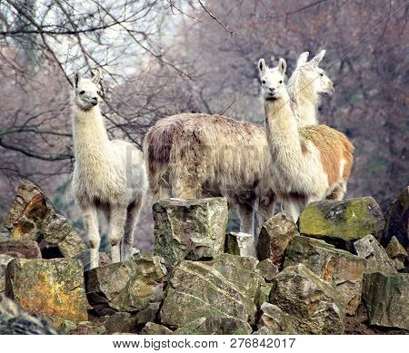 Llamas. South American Animals. Guanaco. Llamas Are Spread In Andes And Such South American Countrie