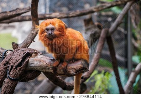 Golden Lion Tamarin Monkey - Golden Marmoset