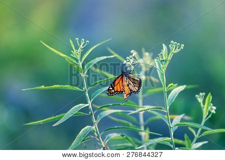 Nature Background Butterfly. Butterfly Insect In Nature. Nature Insect Butterfly On White Flowers Pl