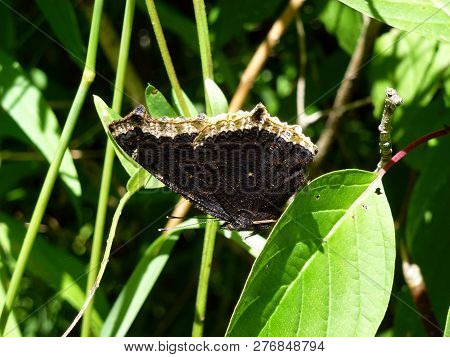 The Black Butterfly Sitting On The Leaves