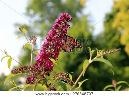 The  Butterfly Monarch Sitting On The Flower