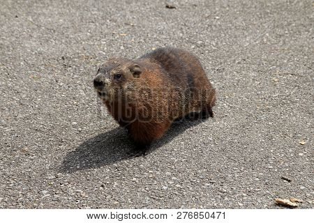 The Brown Gopher Sitting On The Road