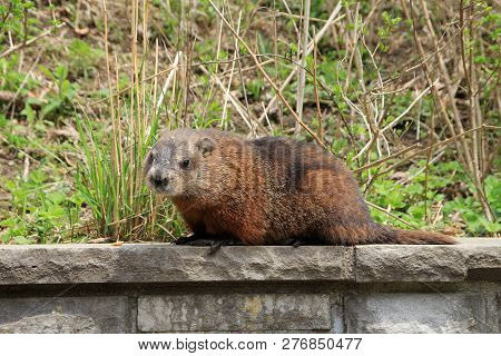 The Gopher Sitting On The Stone Fence