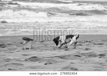 Dog Small Playing And Digging In Sand At Beach On Summer Holiday Vacation Ocean Shore On Windy Murky