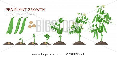 Pea Plant Growth Stages Infographic Elements In Flat Design. Planting Process Of Peas From Seeds Spr