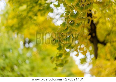 Ginkgo Yellow Leaves