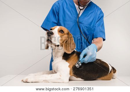 Cropped View Of Veterinarian Examining Beagle Dog With Stethoscope Isolated On Grey