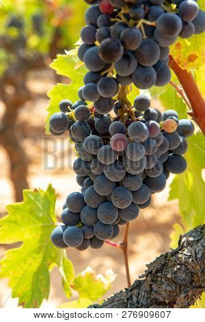 French Red And Rose Wine Grapes Plant, Growing On Ochre Mineral Soil, New Harvest Of Wine Grape In F
