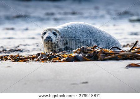 Atlantic Grey Seal Pup On Sandy Beach/atlantic Grey Seal Pup/atlantic Grey Seal Pup (halichoerus Gry