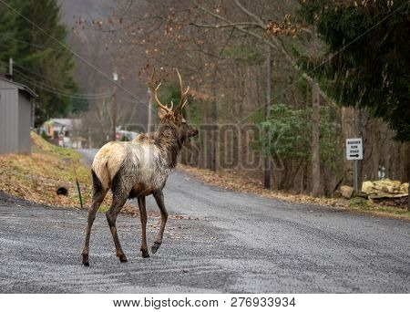 Elk Walking On The Road