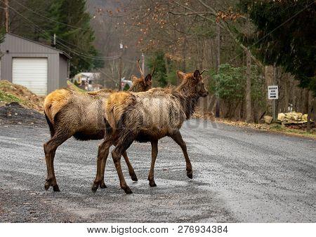 Elk Wapiti Walking On The Road